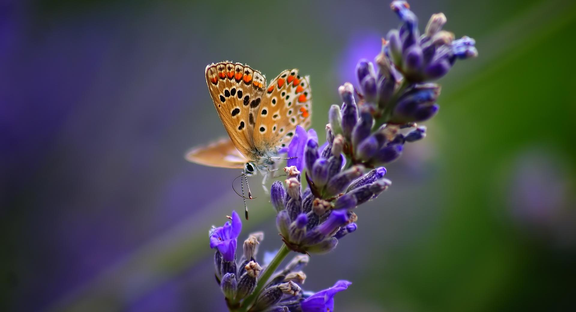 Butterfly On Lavender Flower wallpapers HD quality