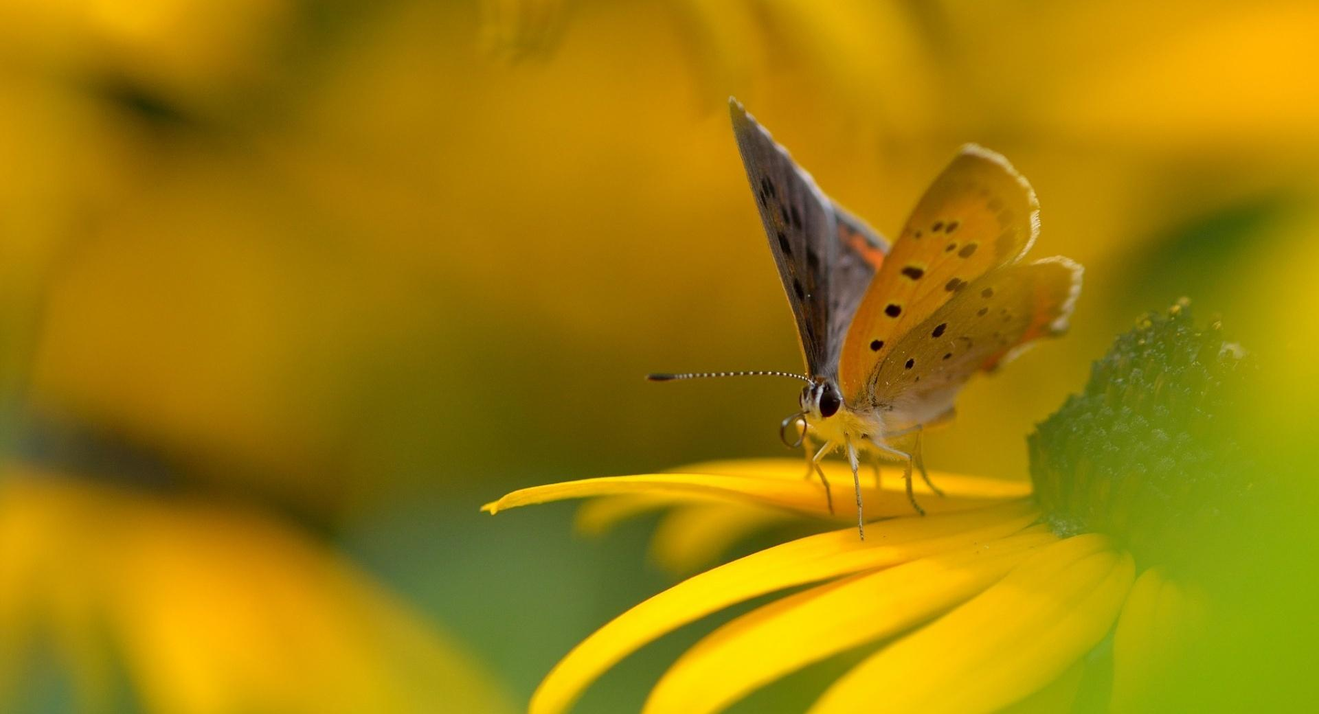 Butterfly On Yellow Flower Macro wallpapers HD quality