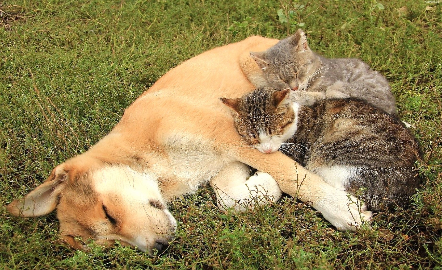 Cats resting on a sleeping dog wallpapers HD quality