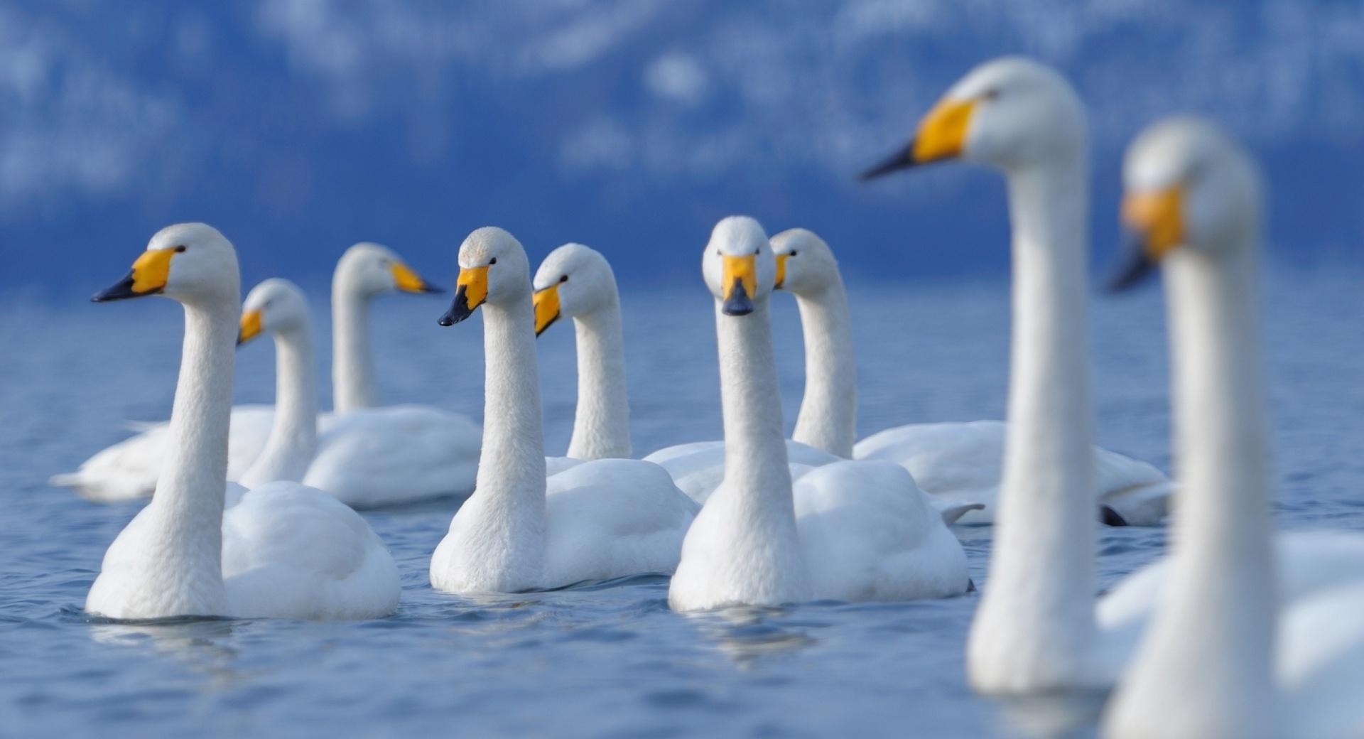 Flock Of Swans wallpapers HD quality