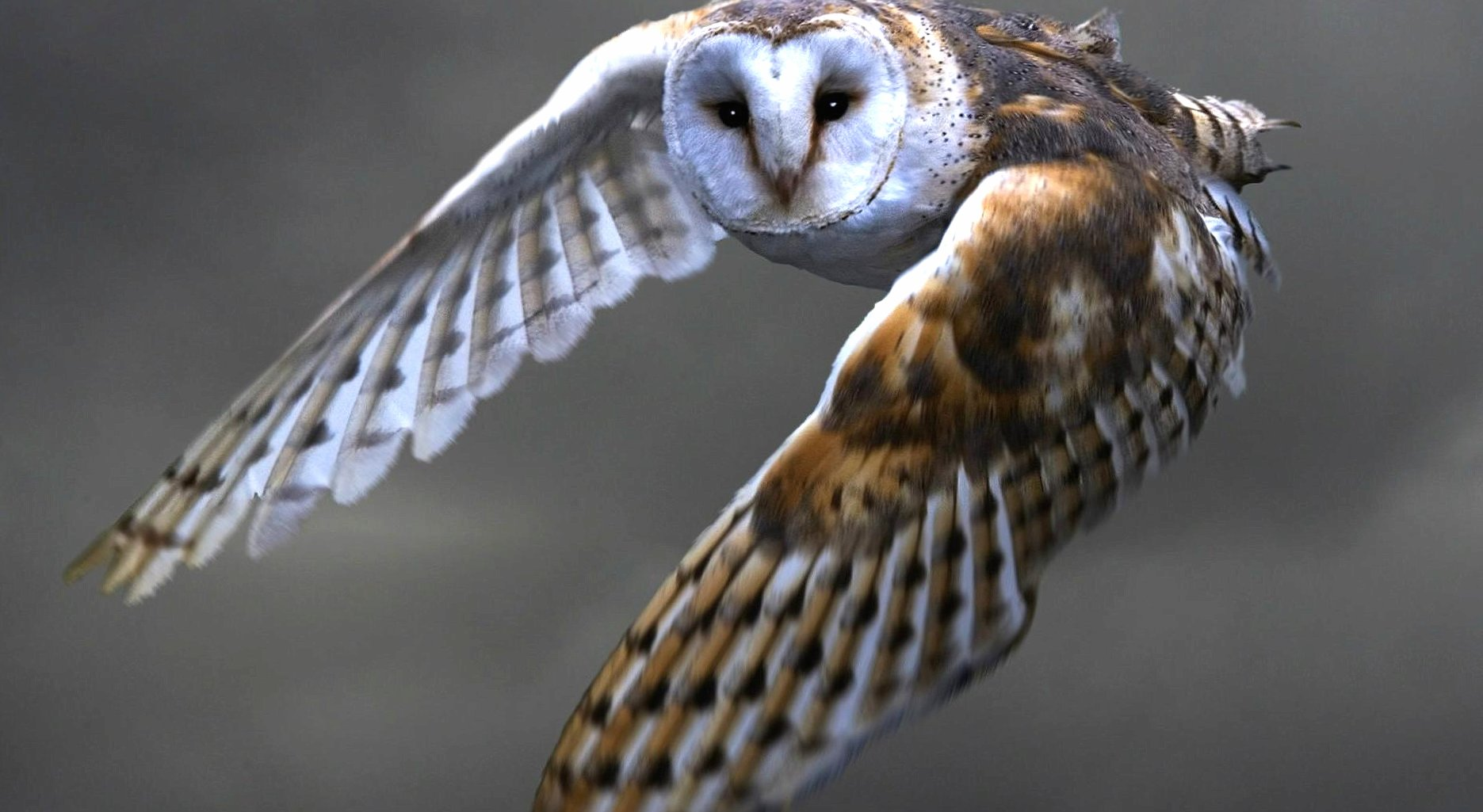 Flying owl wallpapers HD quality