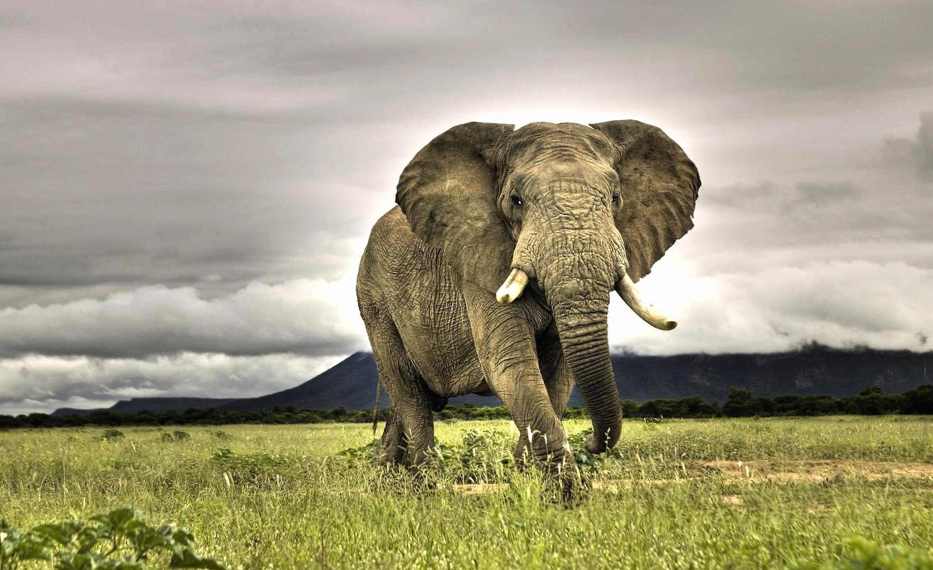 Giant african elephant wallpapers HD quality