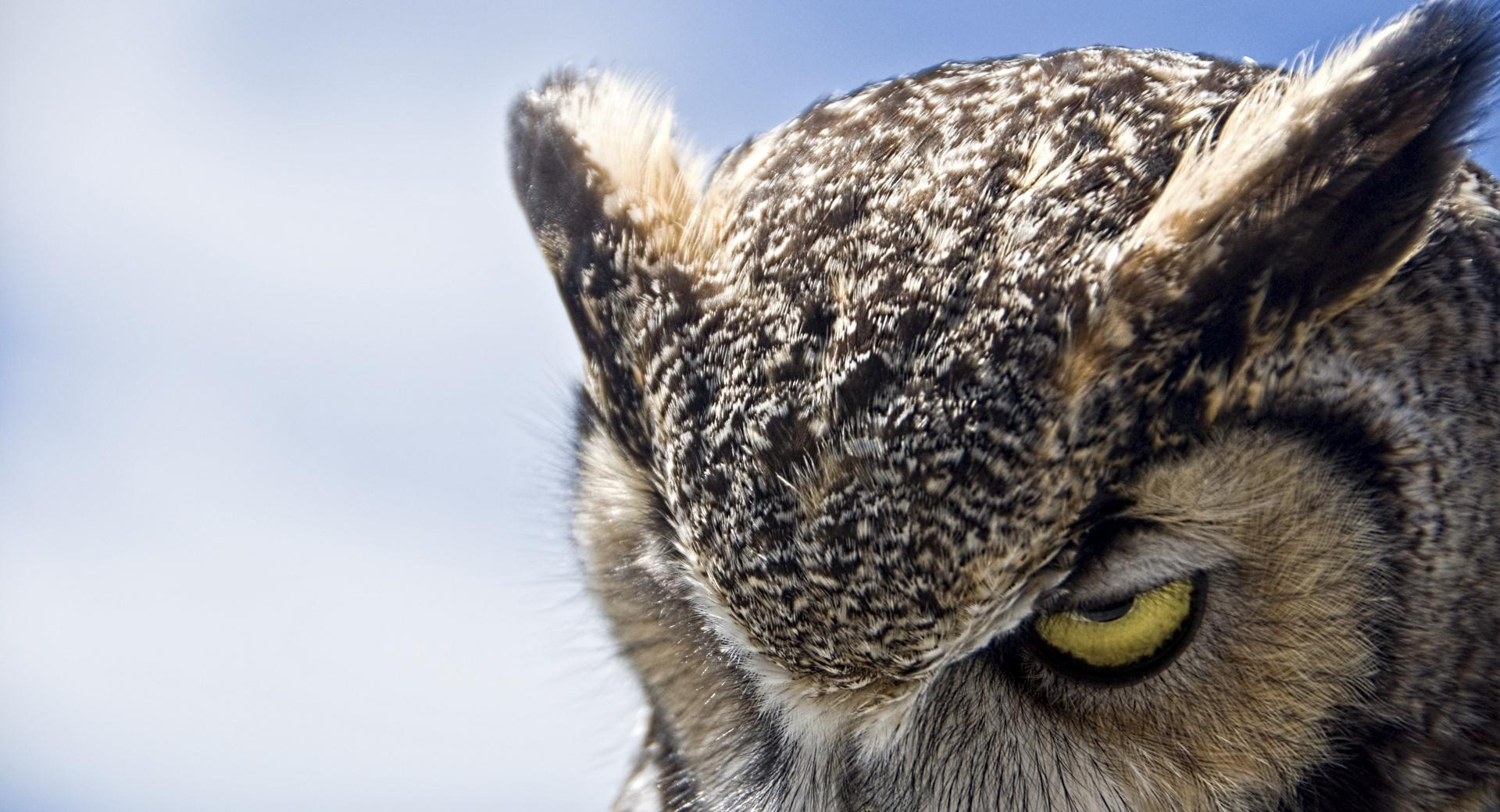 Great Horned Owl Sullen wallpapers HD quality
