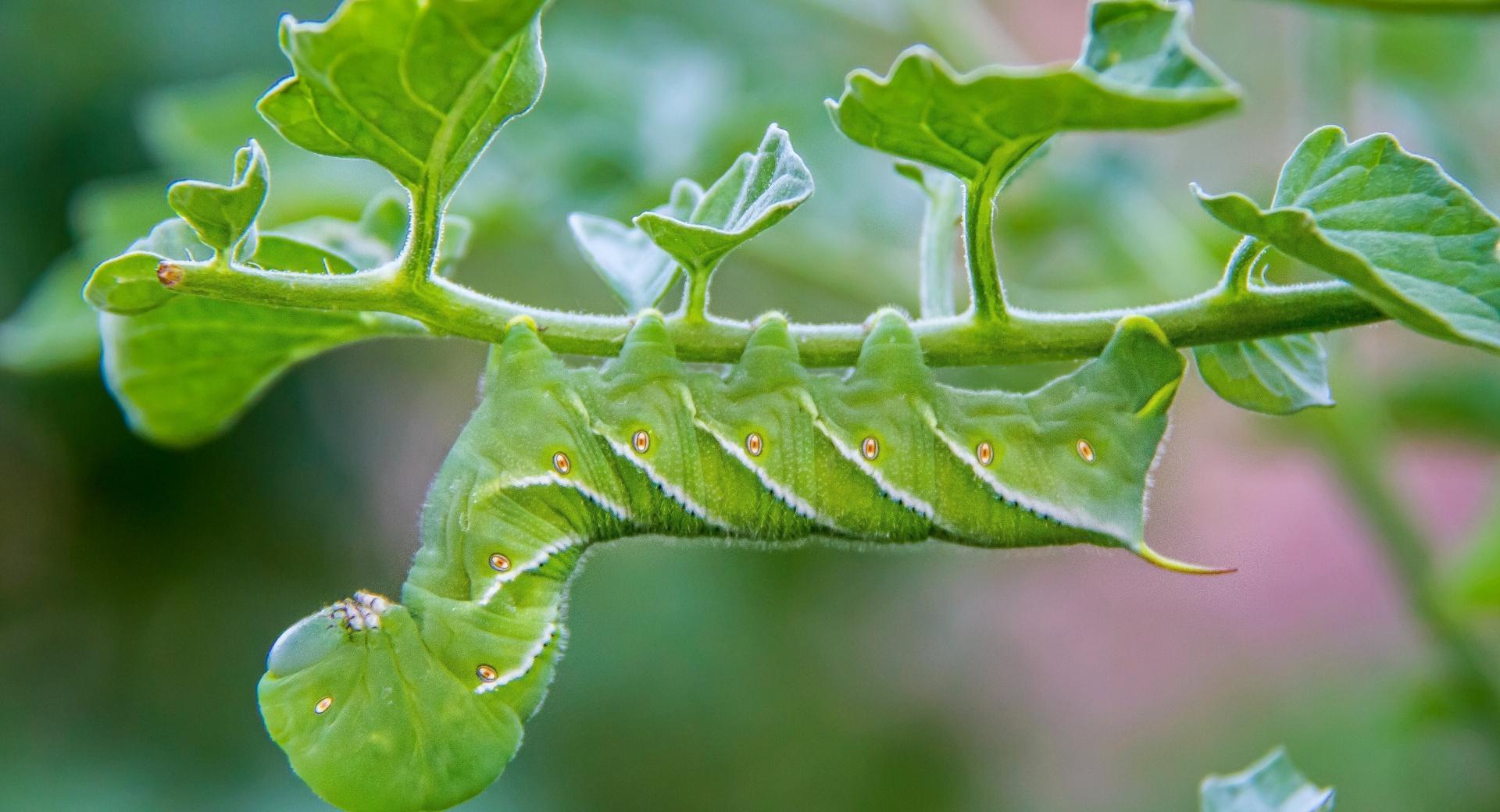 Green Caterpillar wallpapers HD quality