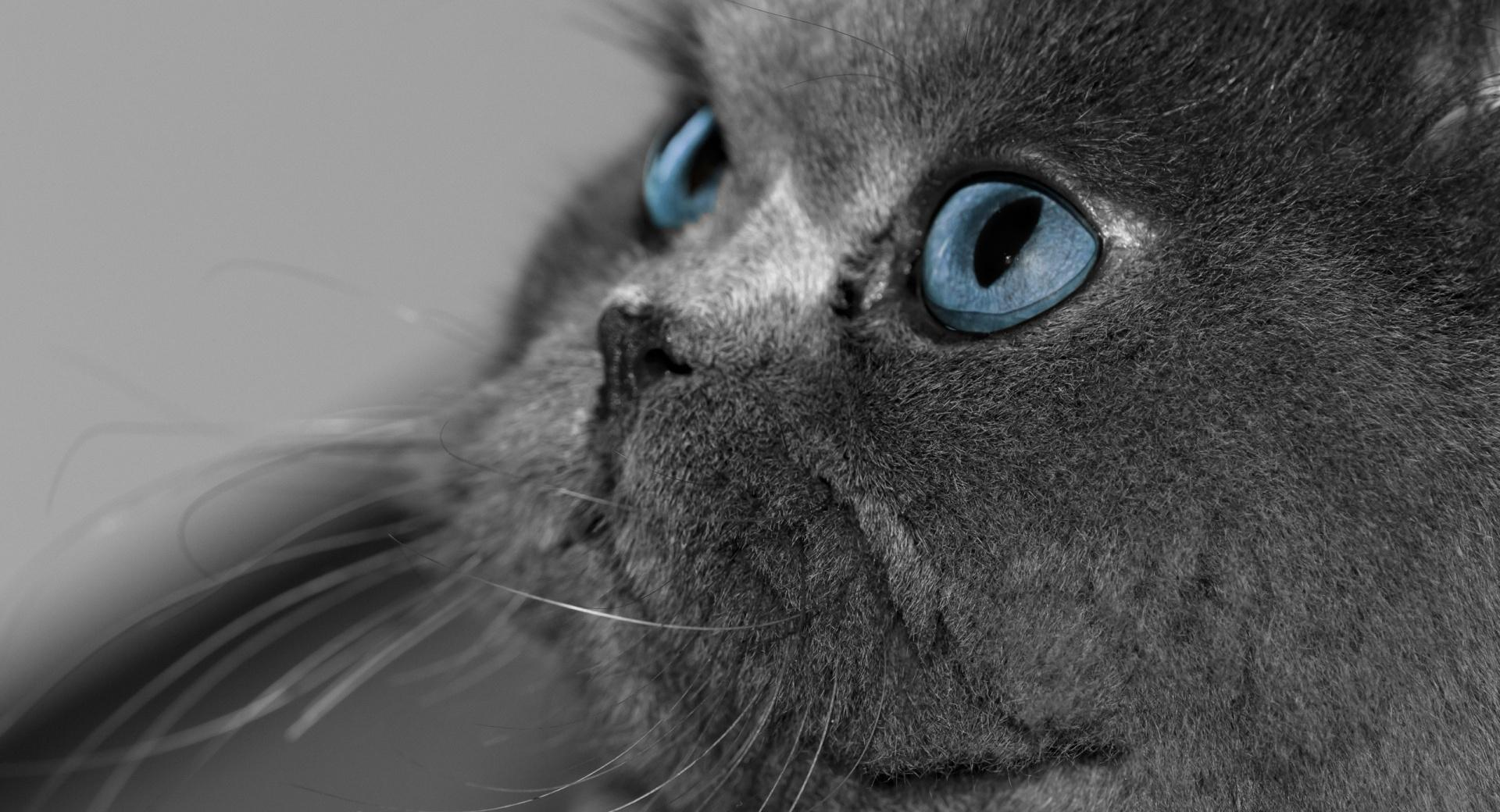 Grey Persian Cat wallpapers HD quality