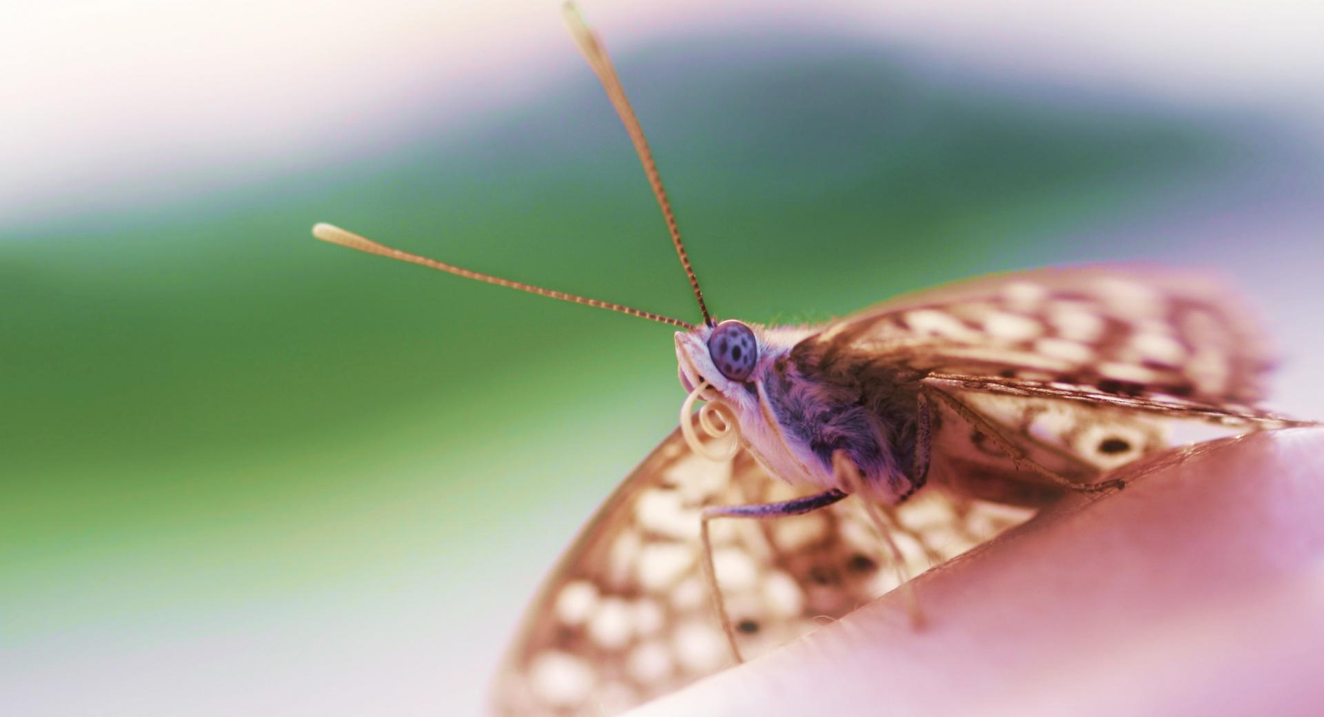 Hackberry Emperor Butterfly wallpapers HD quality