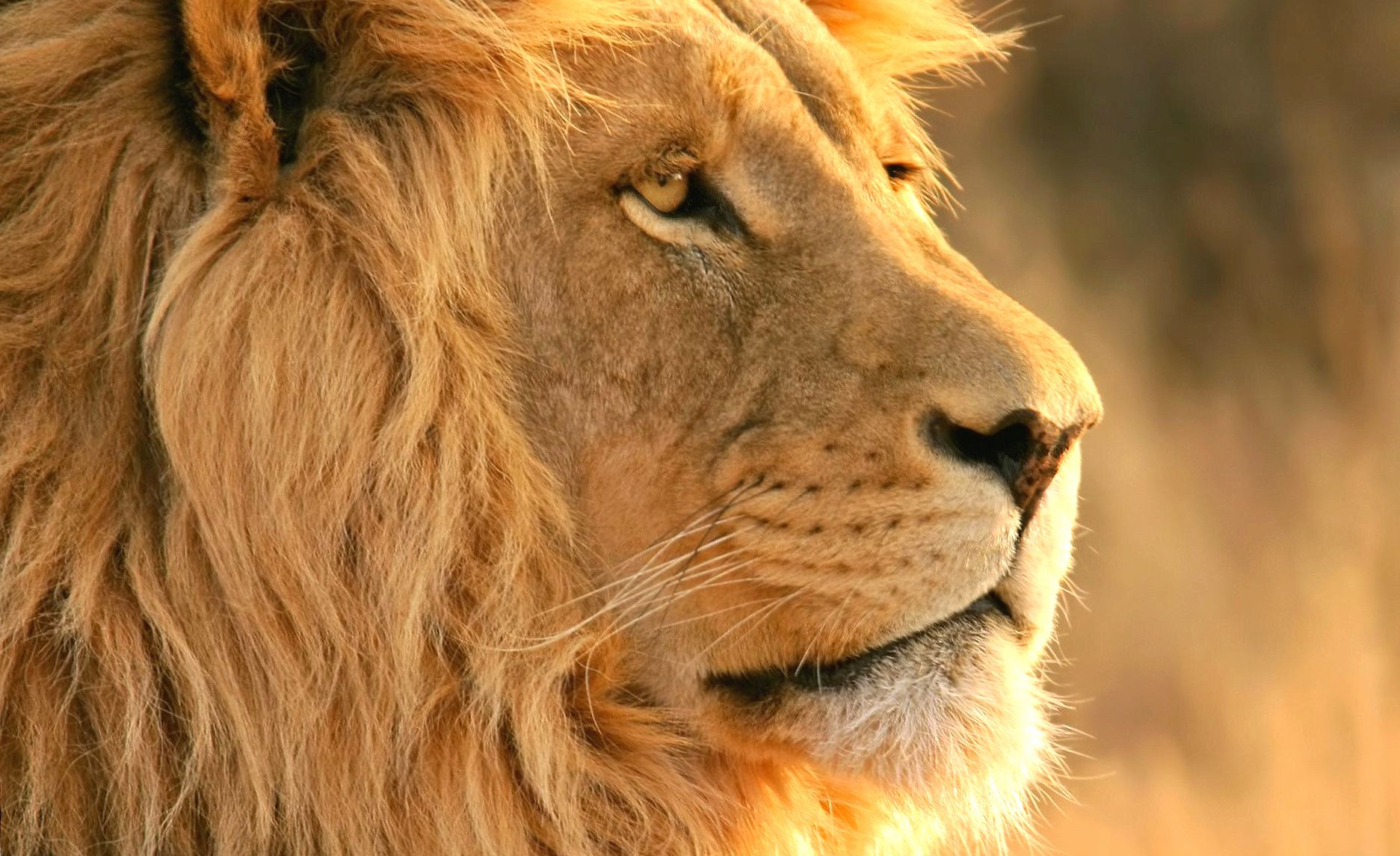 Head lion wallpapers HD quality