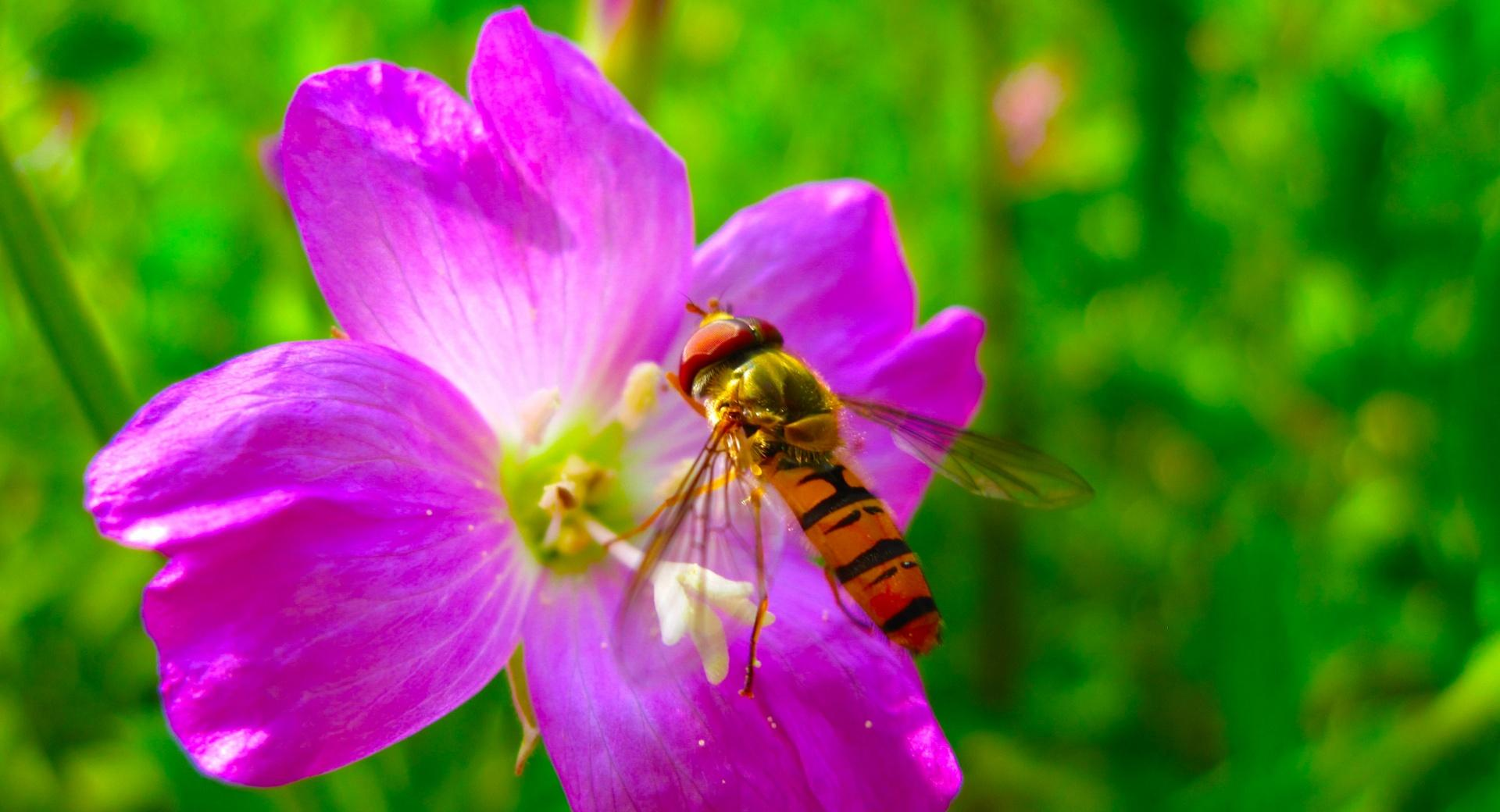 Hoverfly On Flower wallpapers HD quality