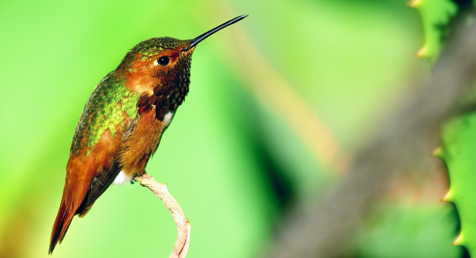 Hummingbird Resting wallpapers HD quality