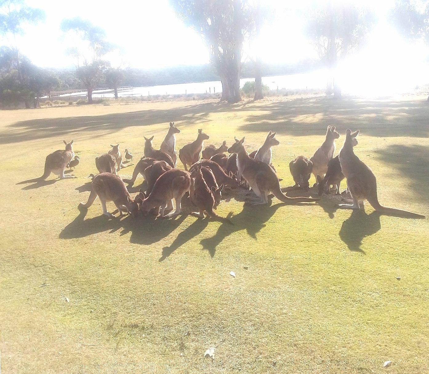 Kangaroos wallpapers HD quality