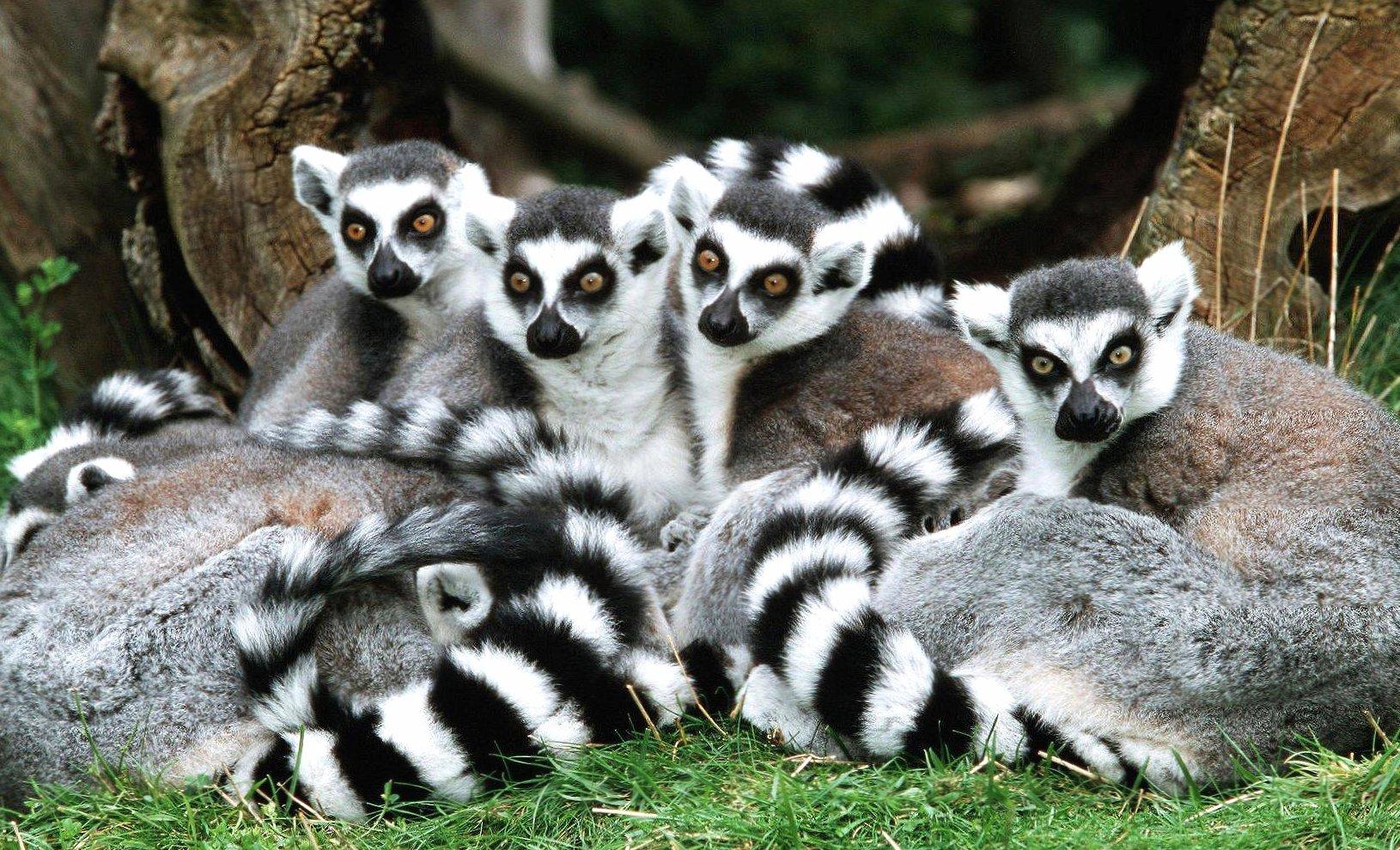 Lemurs faminy wallpapers HD quality