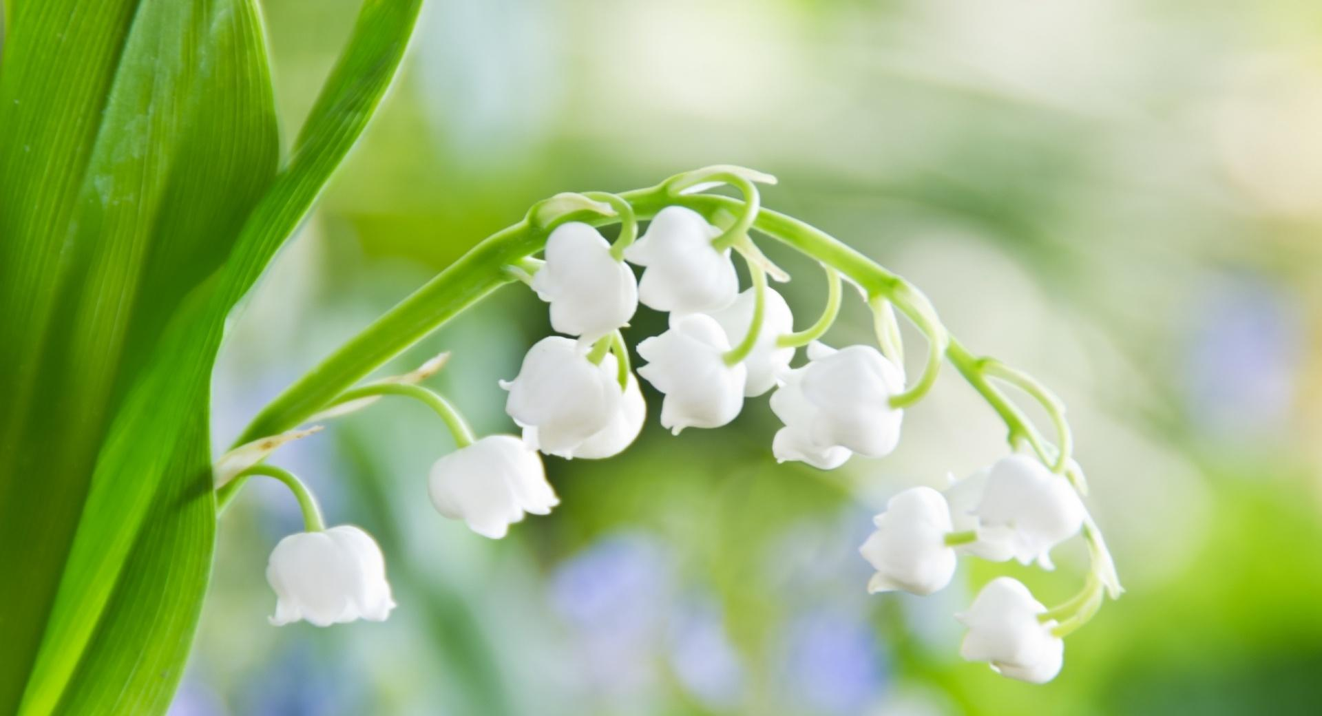 Lily Of The Valley Macro wallpapers HD quality