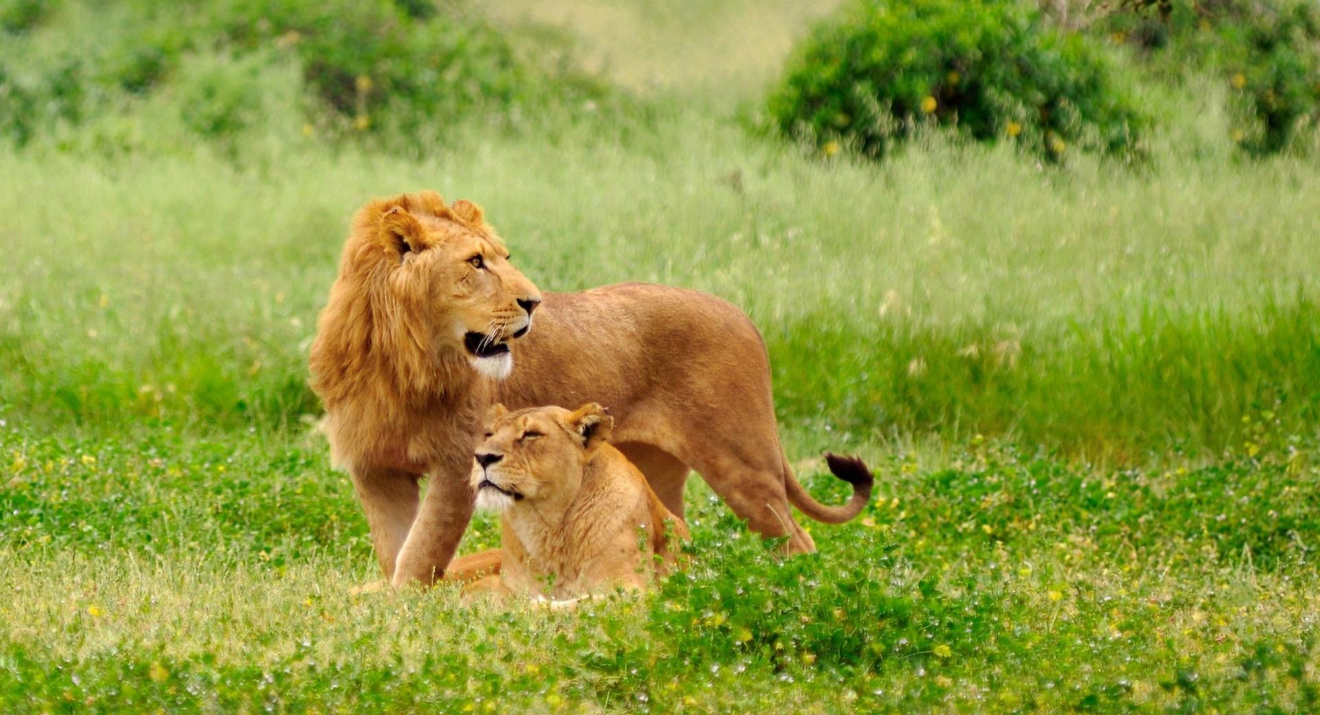 Lion Pair wallpapers HD quality