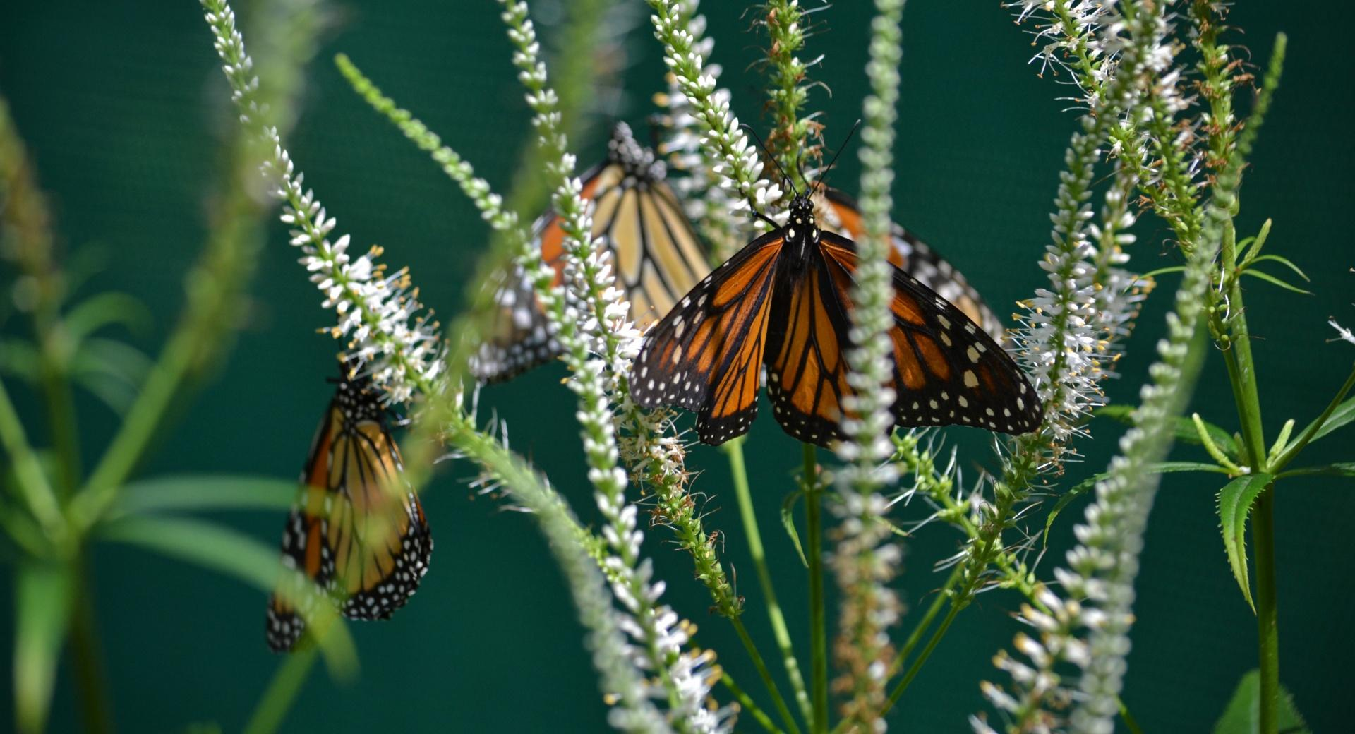 Monarch Butterfly on a Flower wallpapers HD quality