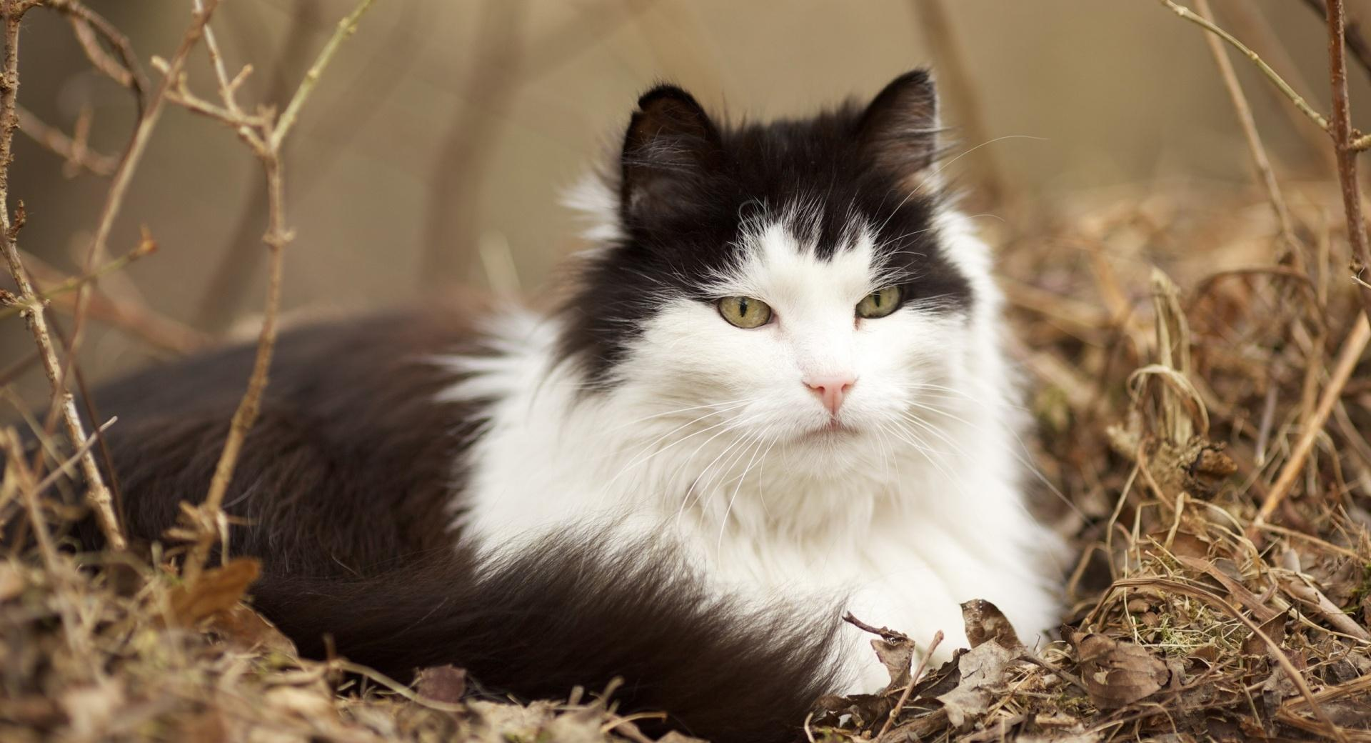 Norwegian Forest Cat wallpapers HD quality