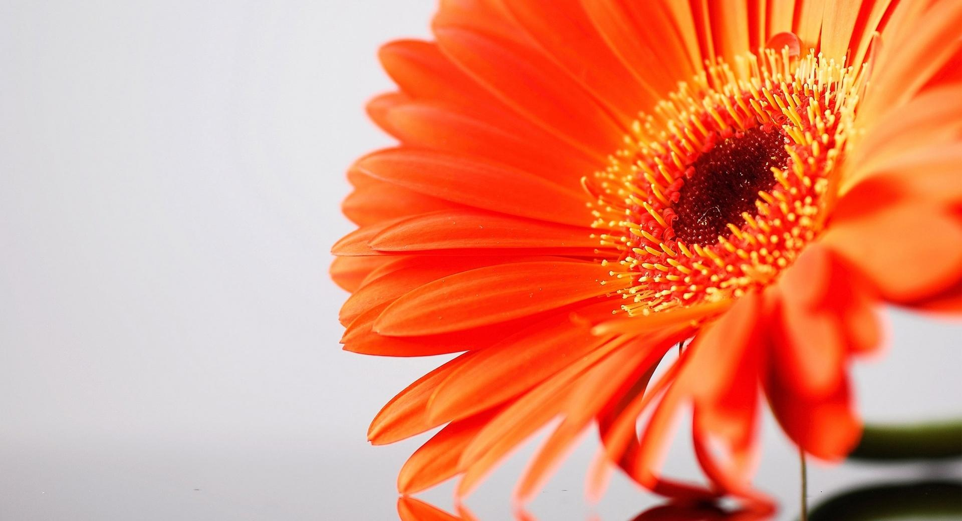 Orange Gerbera at 1600 x 1200 size wallpapers HD quality