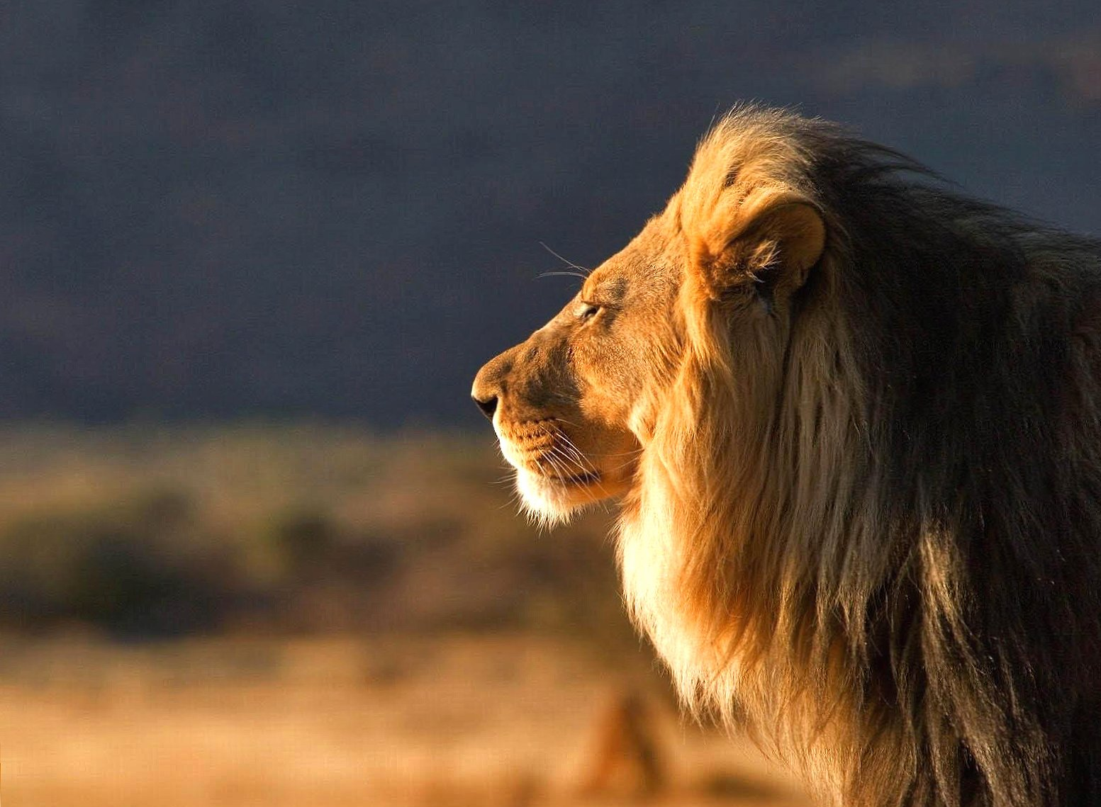 Profile lion wallpapers HD quality