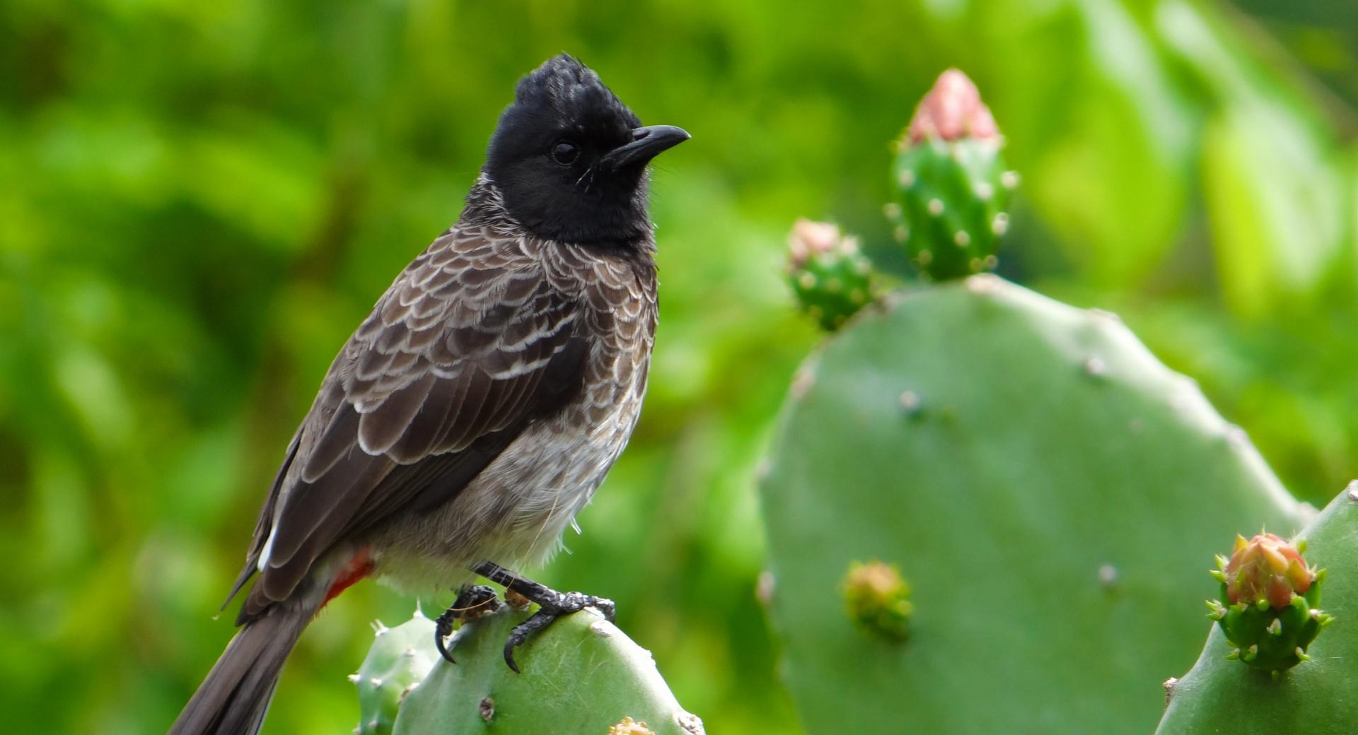 Red-Vented Bulbul Bird wallpapers HD quality