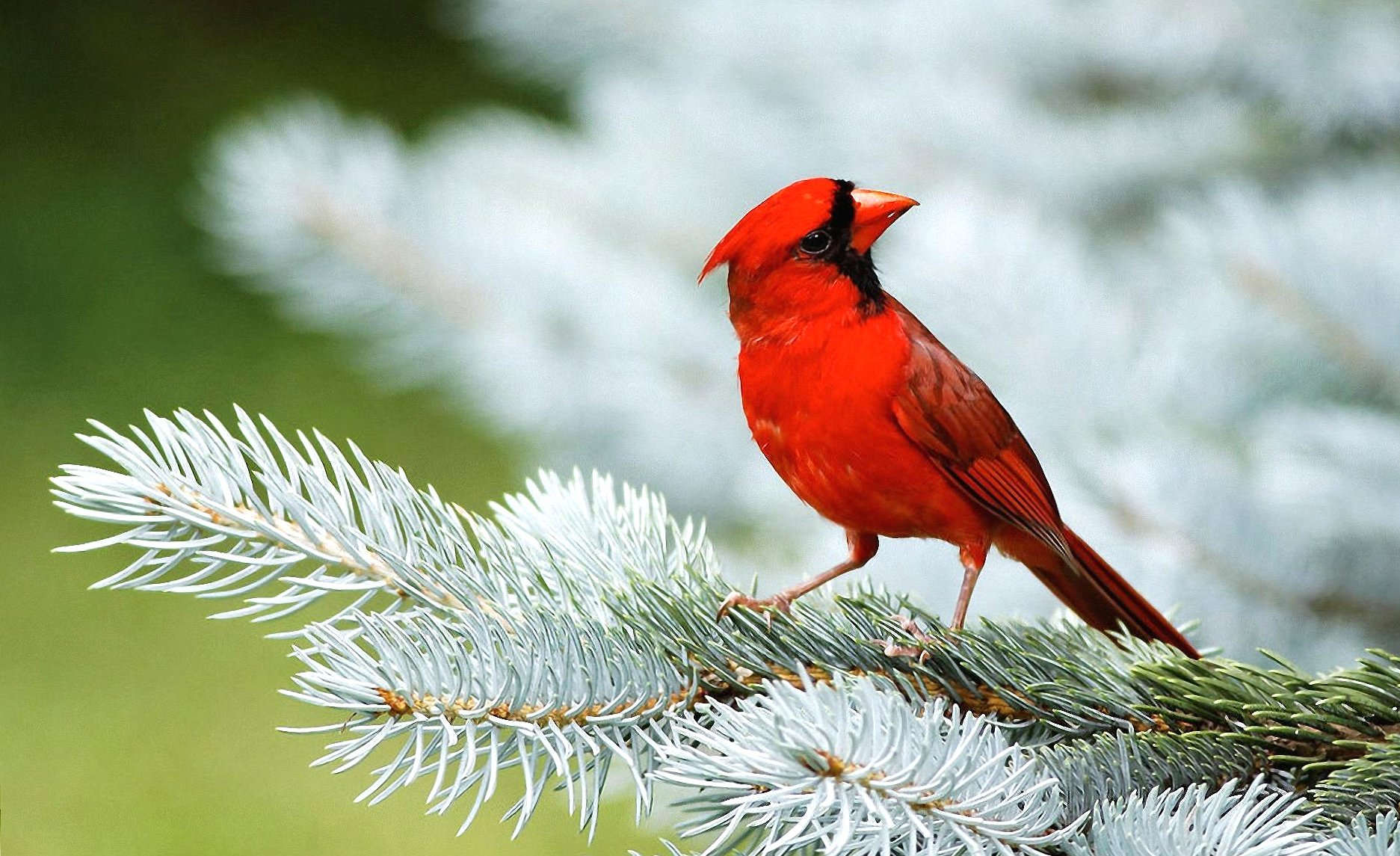 Red bird wallpapers HD quality