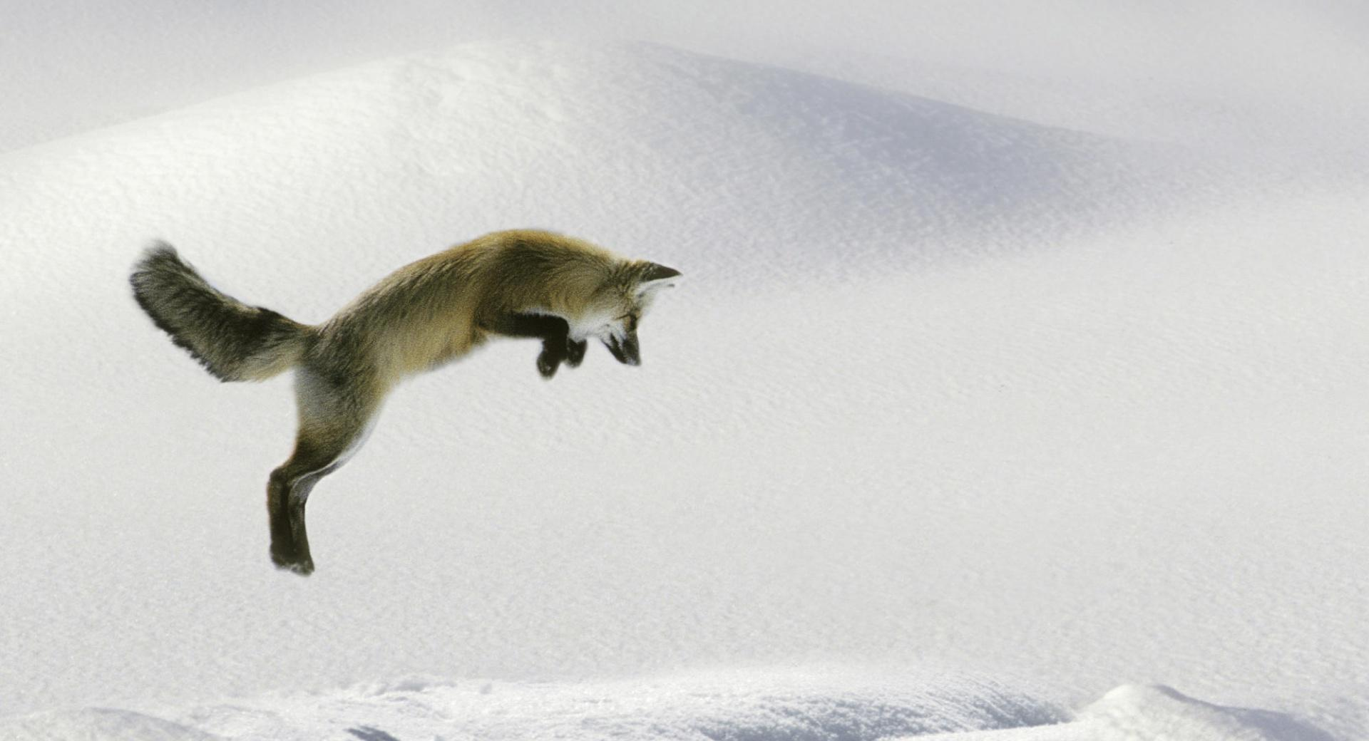 Red Fox Vulpes Fulva Leaping For Vole wallpapers HD quality