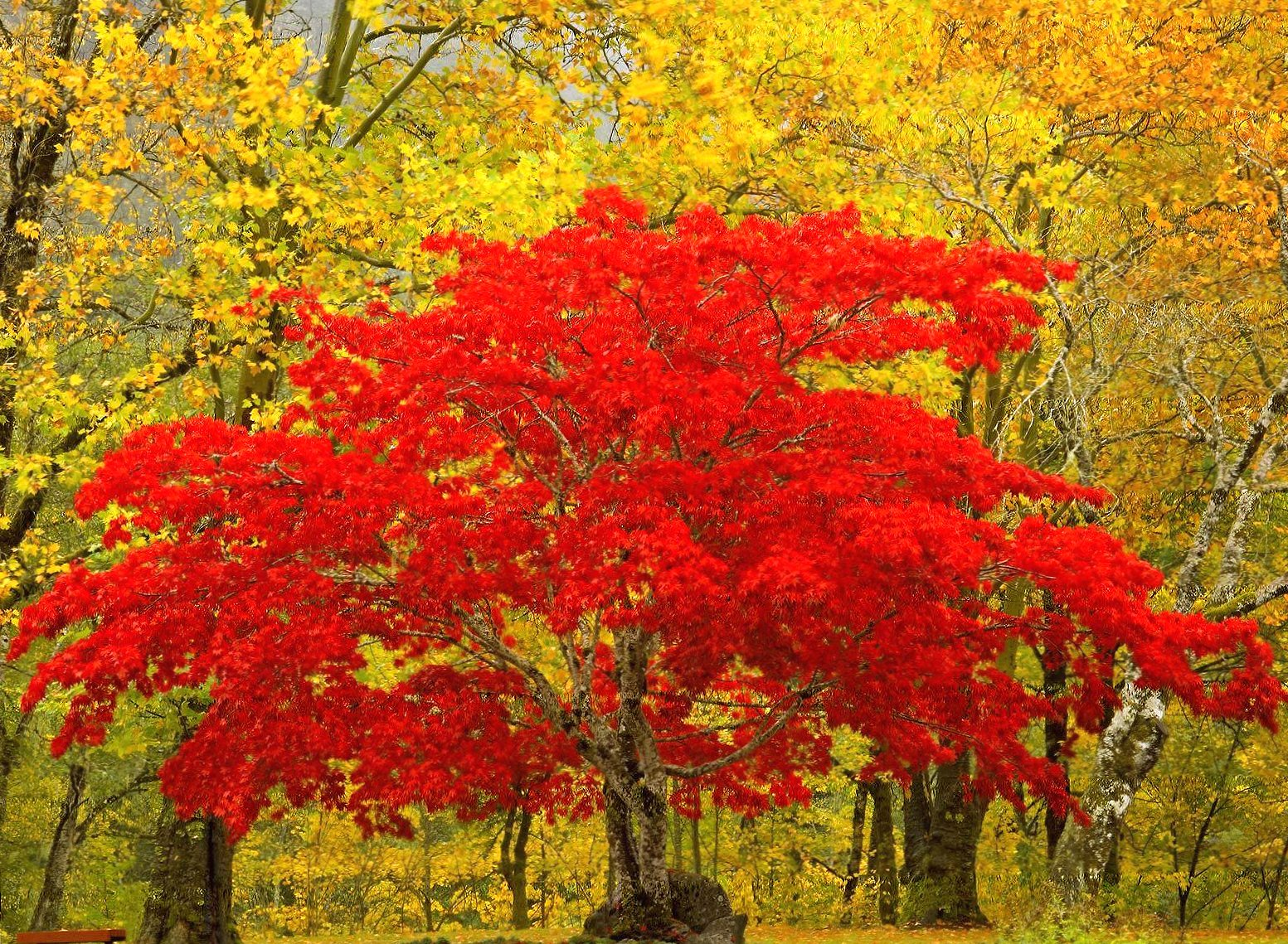 Red tree wallpapers HD quality