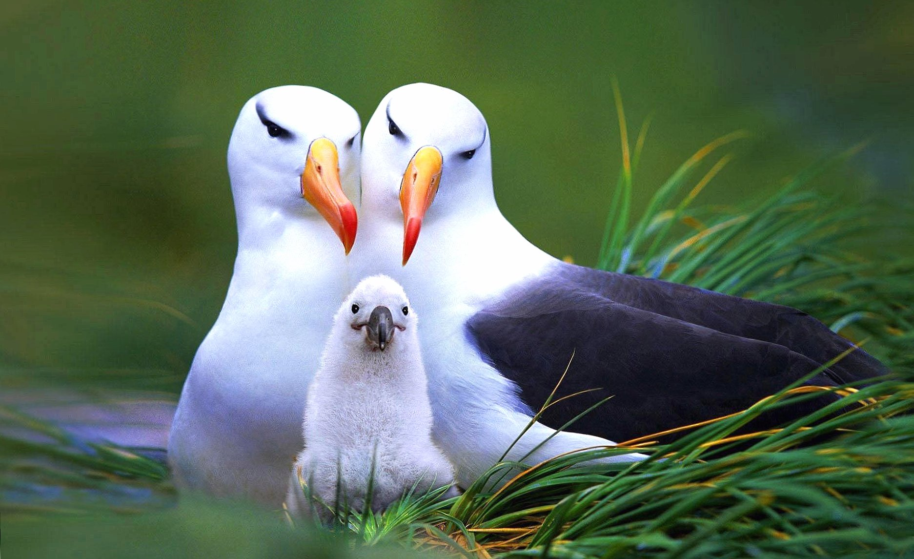 Seagull family wallpapers HD quality