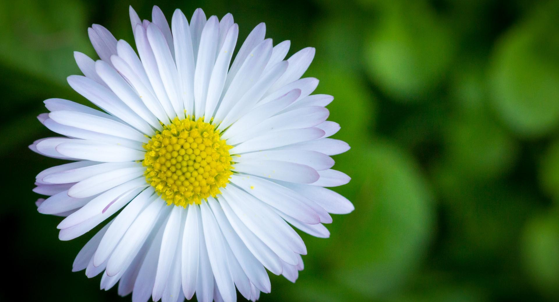The Camomile at 1024 x 768 size wallpapers HD quality