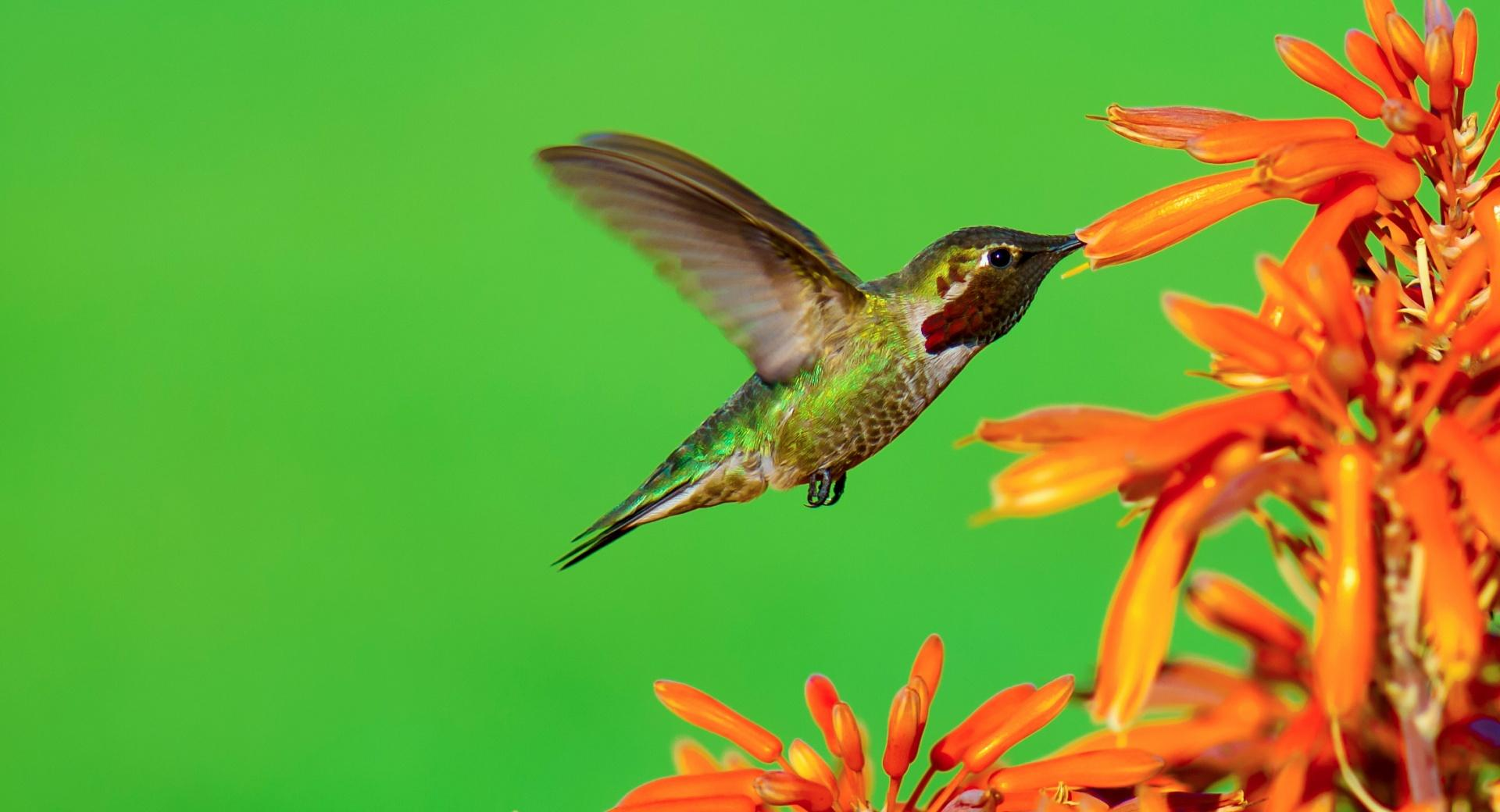 The Hungry Hummingbird wallpapers HD quality