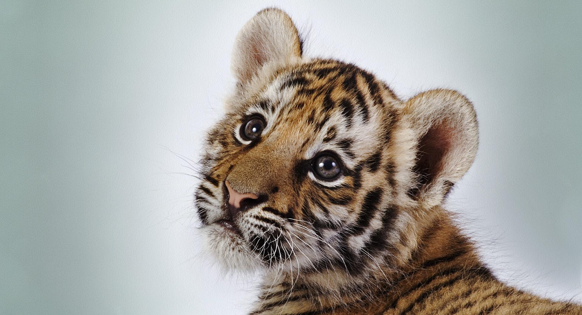 Tiger Cub wallpapers HD quality