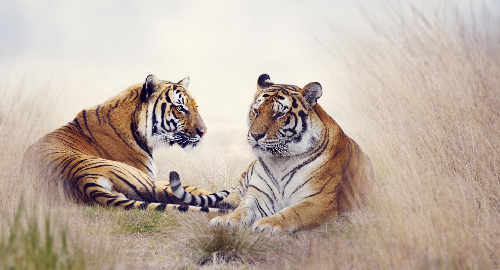 Tiger Pair wallpapers HD quality