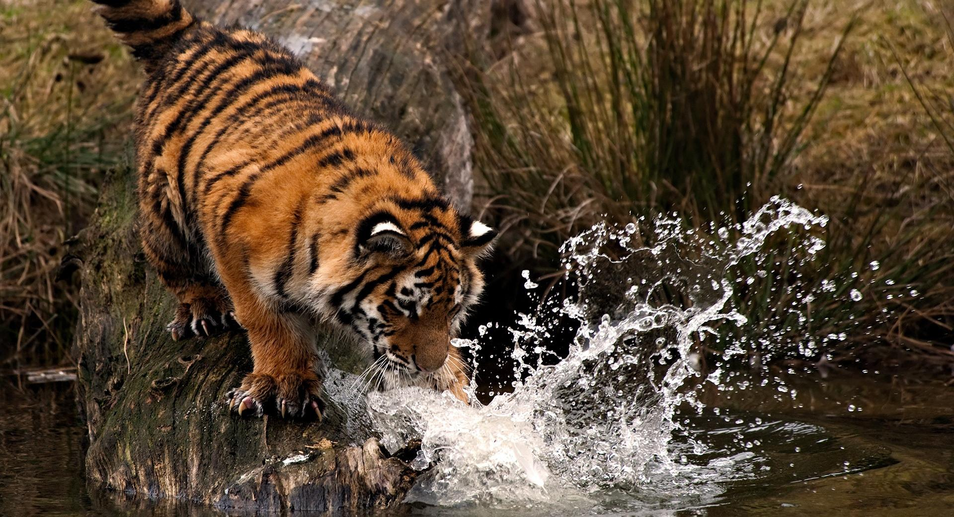 Tiger Playing With Water wallpapers HD quality