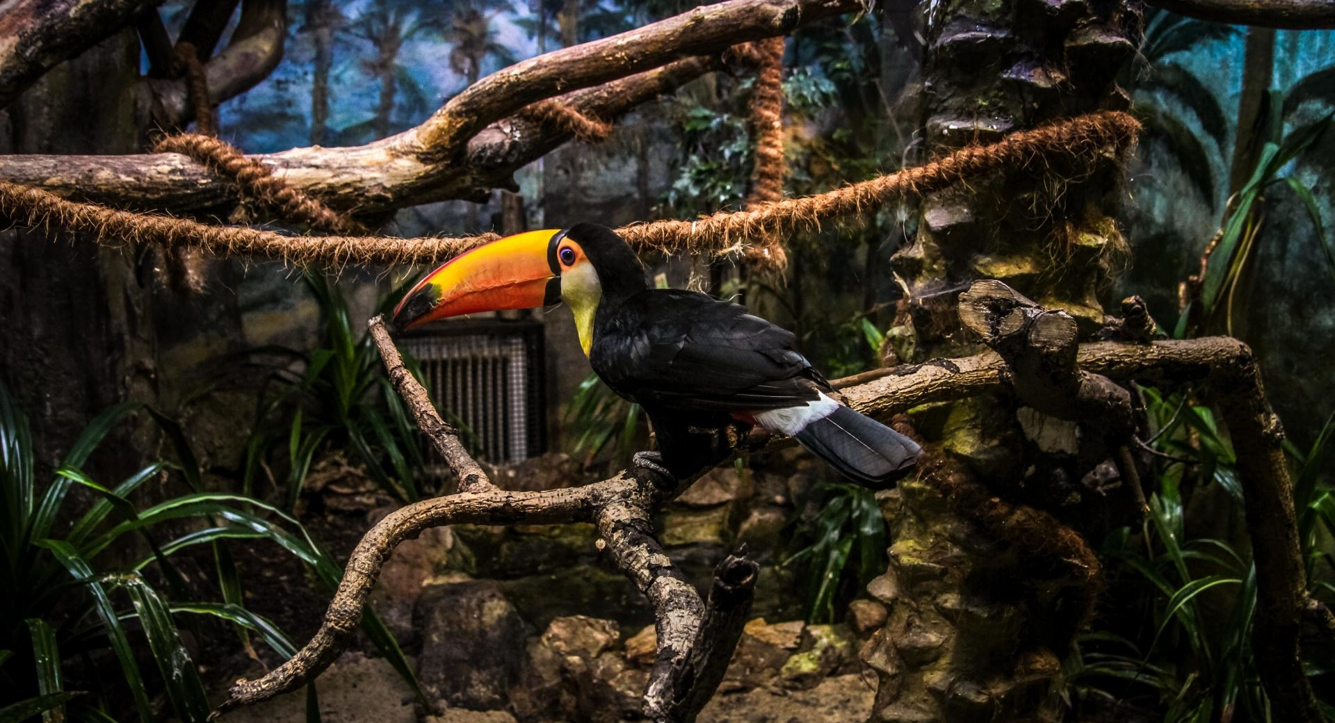 Toco Toucan Perched in Tree wallpapers HD quality