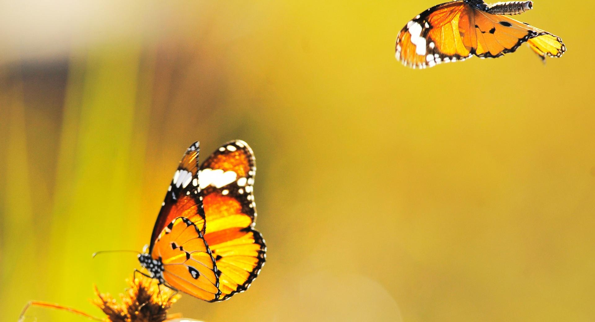 Two Butterflies Went Out at Noon wallpapers HD quality