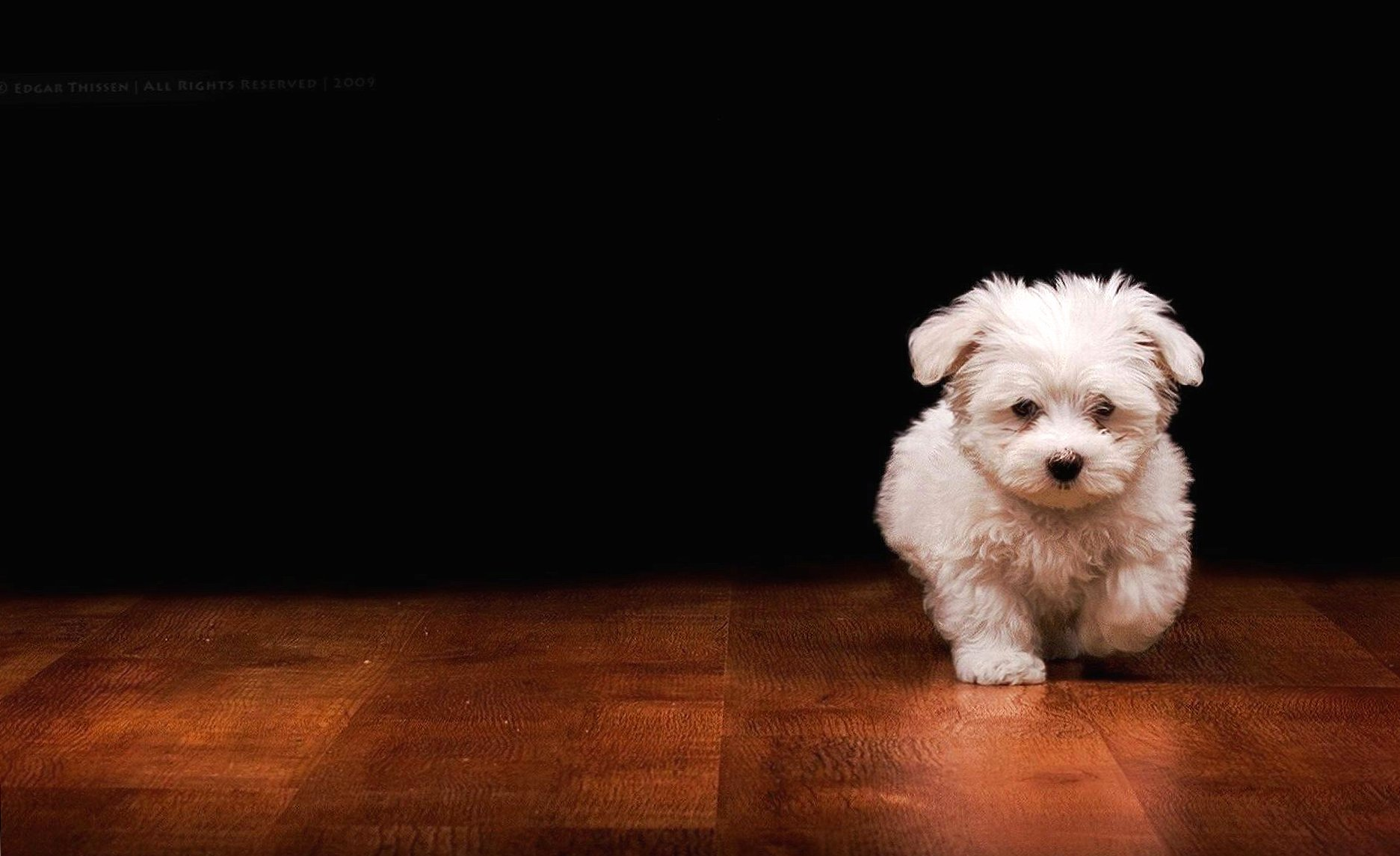 White dog wallpapers HD quality