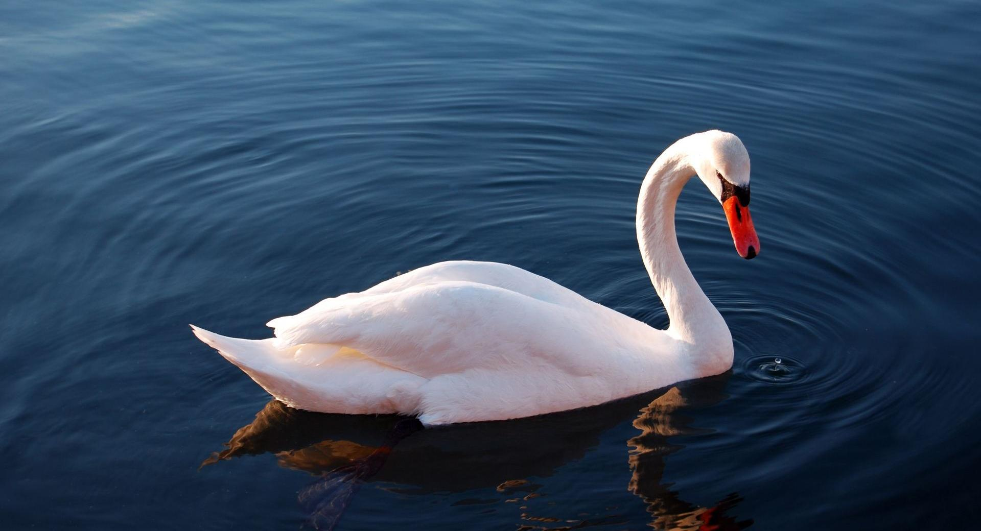 White Swan in Water wallpapers HD quality