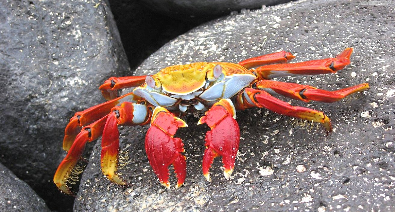 Yellow re crab wallpapers HD quality
