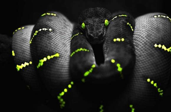 Black and yellow snake