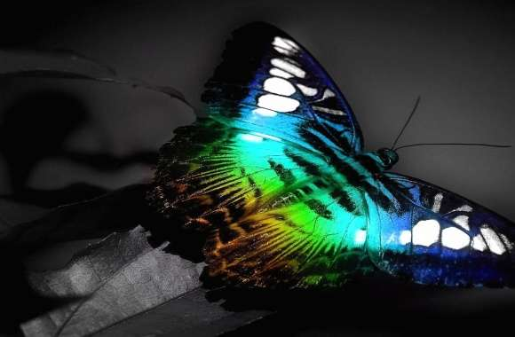 Butterfly fullcolour wallpapers hd quality