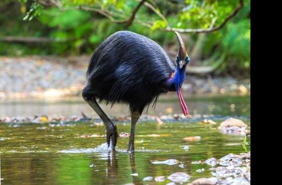 Cassowary wallpapers hd quality