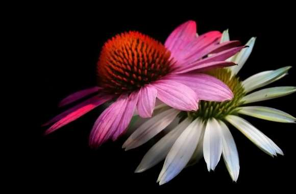 Cone Flowers, Black Background wallpapers hd quality