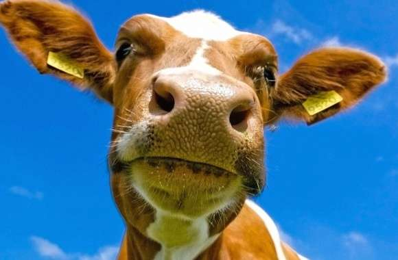 Cow near wallpapers hd quality