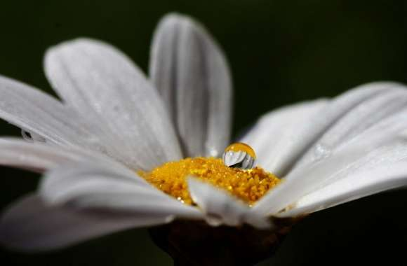 Daisy Flower With Water Droplet wallpapers hd quality