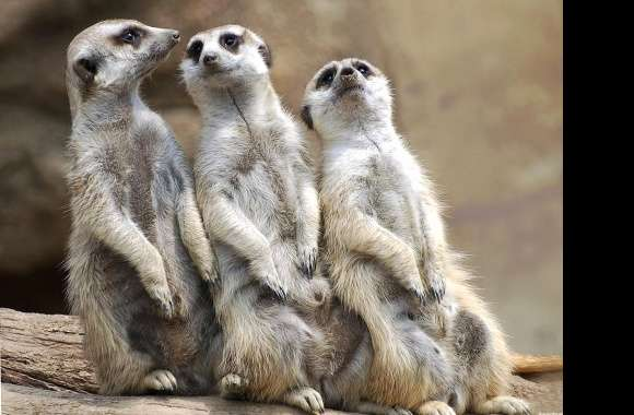 Friends suricate wallpapers hd quality