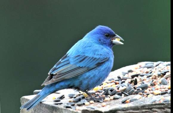 Indigo Bunting wallpapers hd quality