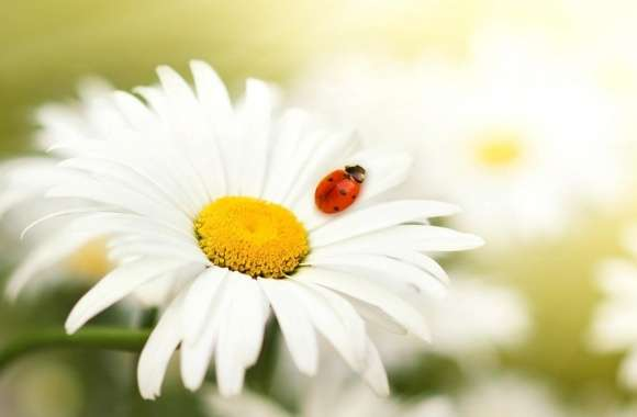 Ladybug On A Daisy wallpapers hd quality