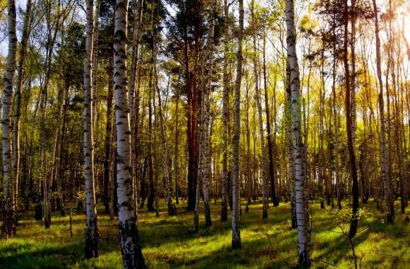Leafless Birch Forest wallpapers hd quality