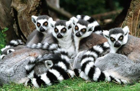 Lemurs faminy wallpapers hd quality