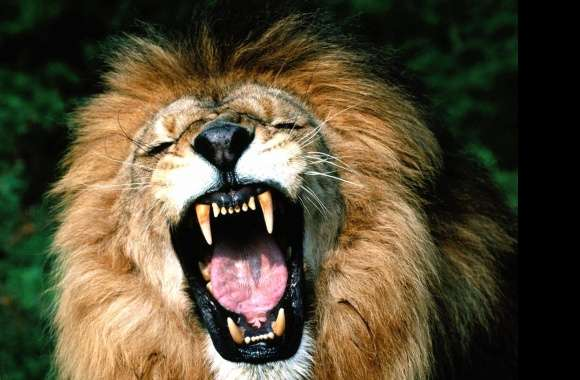 Mouth opened lion angry wallpapers hd quality
