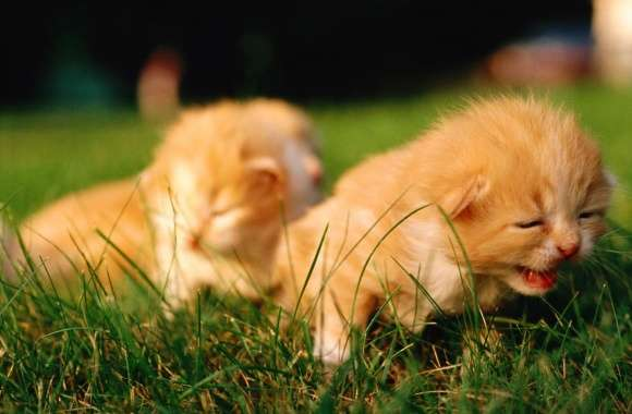 Newborn Kittens wallpapers hd quality