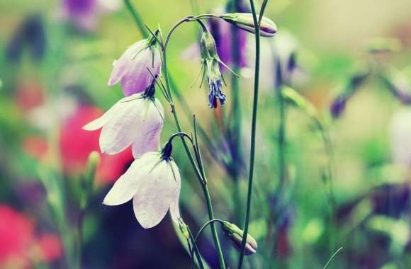 Purple Bells (Flowers)